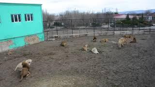 Любовные утехи львов