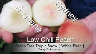 Video Peach Tree From Sydney to Brisbane the Tropic Snow download MP3, 3GP, MP4, WEBM, AVI, FLV September 2017