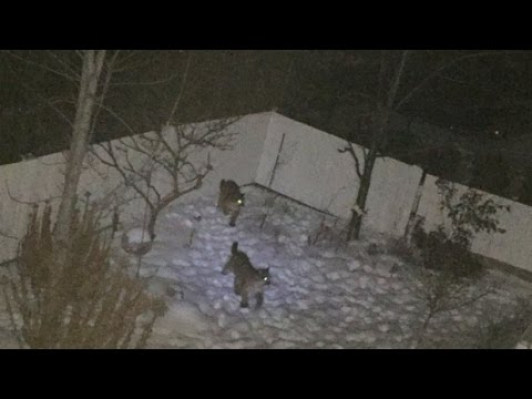 Coquitlam couple has two close encounters with a trio of cougars