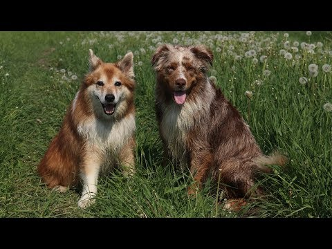 Summer Day | Australian Shepherd & Icelandic Sheepdog