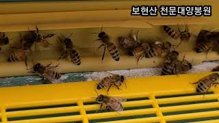 2021년5월31일 보현산 천문대양봉원 다래화분 유입소…