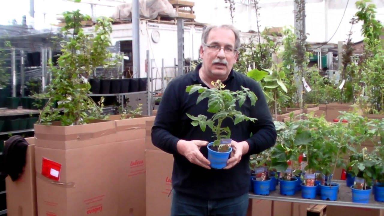 kompakte tomatenpflanzen f r balkon und terrasse youtube. Black Bedroom Furniture Sets. Home Design Ideas