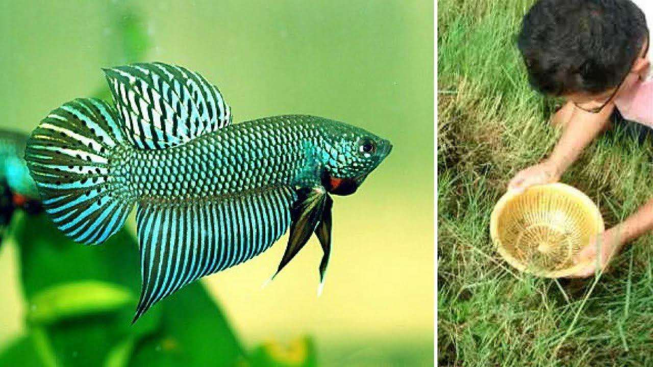 how to catch wild betta fish