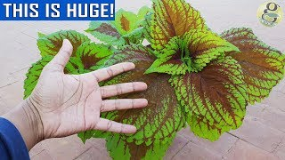 COLEUS - Dos & Donts | Important Points on Coleus Care and Propagation