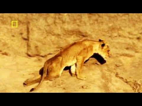 Angry BUFFALO Herd BREAKS LION Cub PELVIS! & MORE in this AWESOME Lion DOCumentary NAT GEO
