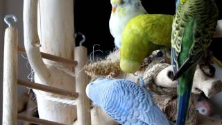 Repeat youtube video Parakeets playtime - Parkieten Speelkwartier