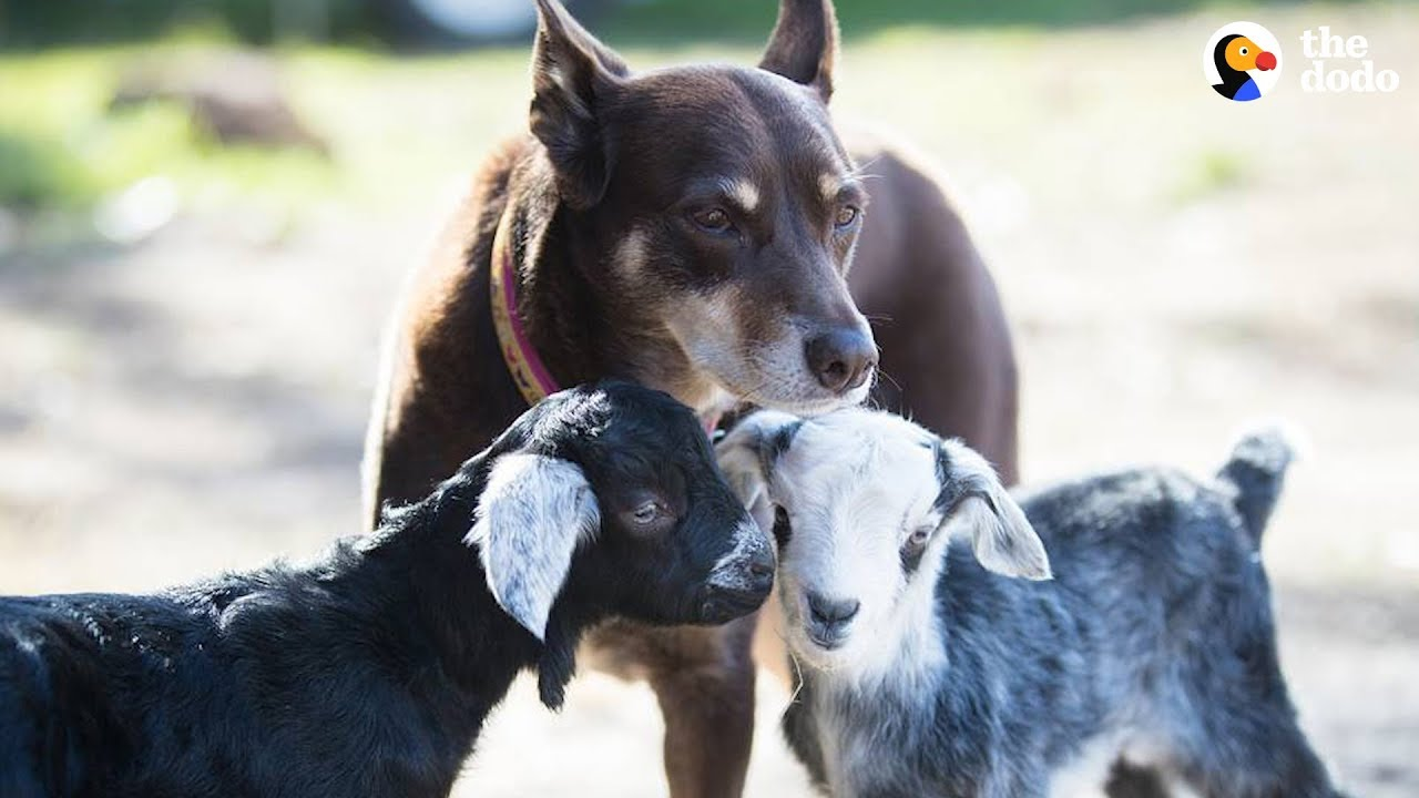 Dog Helps Her Mom Take Care Of All The Animals At Their Sanctuary - RUBY | The Dodo