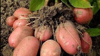 видео Ранний урожай картофеля