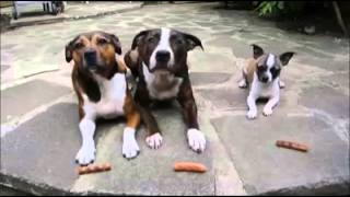 Little Dog Steals Big Dogs Sausages