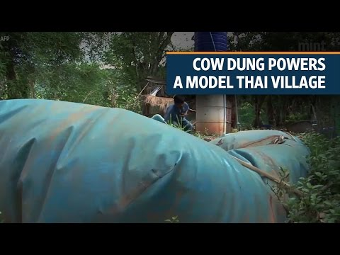 Cow dung powers a model Thai village