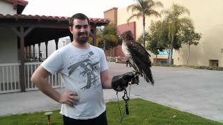 Falconry: A Lesson In God's Obedience Training.