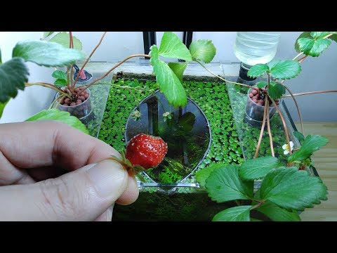 Ep.10 Strawberry Betta Tank (It Smells So Good) No filter, No CO2, NO ferts Nano Tank