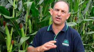 When to cut silage?