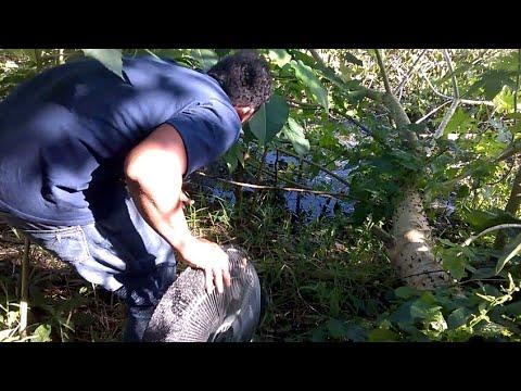 Pescando bettas salvajes y camarones (parte 3)