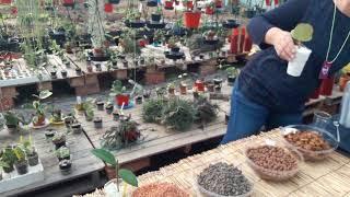 Come far radicare una talea di Hoya o  fiori di cera