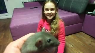 Новый питомец - декоративная крыса Лео породы Дамбо