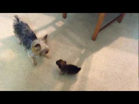 Toy Yorkie playing with his son