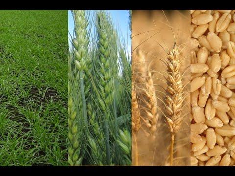 Технология выращивания озимой