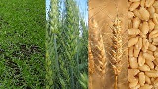 видео Пшеница посев