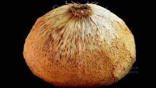Macapuno Coconut - มะพร้าวกะทิ