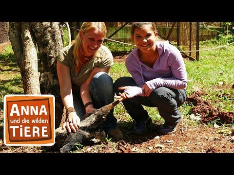 Wie schwer ist der Ameisenbär? (Doku)   Reportage für Kinder   Anna und die wilden Tiere