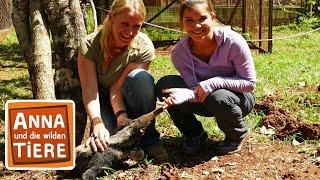 Wie schwer ist der Ameisenbär? (Doku) | Reportage für Kinder | Anna und die wilden Tiere