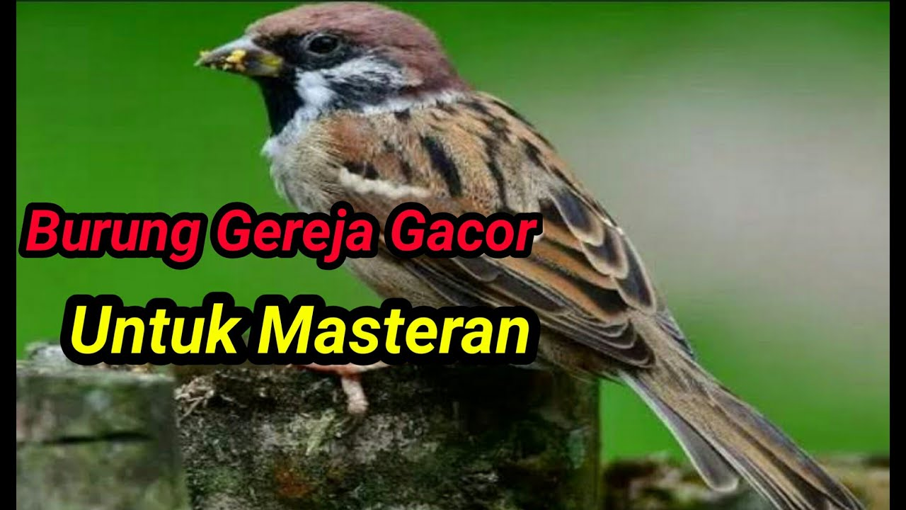 Burung Gereja Gacor Efektif Untuk Masteran Youtube