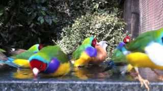 Gouldian finches bathing with their friends in an outdoor planted aviary