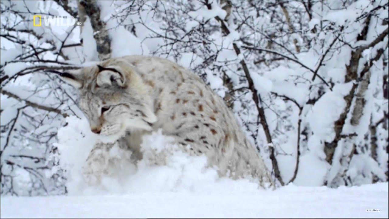 Nordic Wild on NatGeo Wild HD UK — Long Promo 1080p