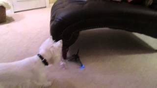 Westie Dog Vs Rc Helicopter West Highland Terrorist