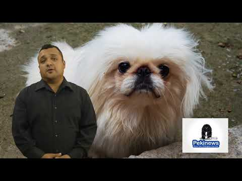 Why Does My Pekingese Love To Lay Under The Sun?