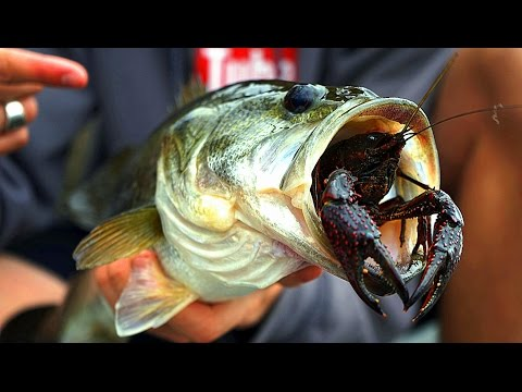 Do Bass Actually Eat Crawfish?? | GoPro Live Crawfish Footage