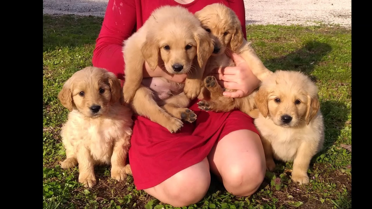 dashing doodles puppies NC GOLDENDOODLE PUPPIES