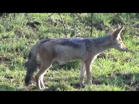 Black-backed Jackal on his own
