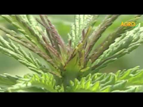 Конопля — лечебные свойства, применение и рецепты