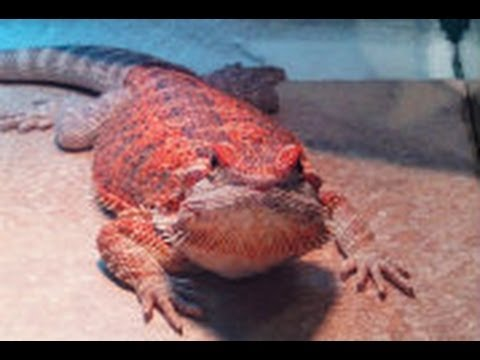 Huge Beautiful Red Blue Bearded Dragon Taking A Bath Youtube