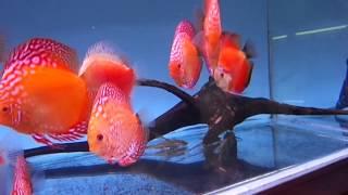 Сколько дискусов можно содержать в аквариуме?