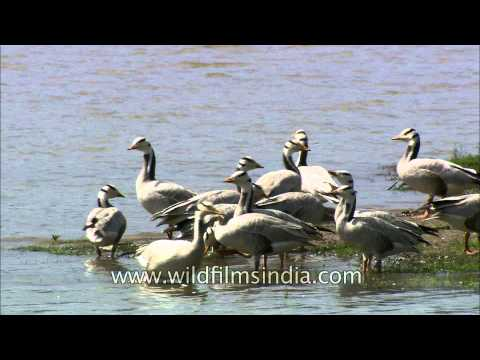 Bar-headed geese foraging on the bank of the Denwa at Satpura National Park