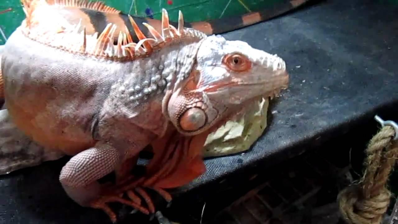 Shedding Red Iguana
