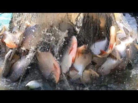 Unbelievable Pro Fish Hunter Vs. River Monsters Piranhas