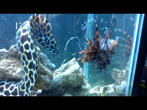 Monster Eel attacking fish!!!!!! 55 Gallon saltwater fish tank.