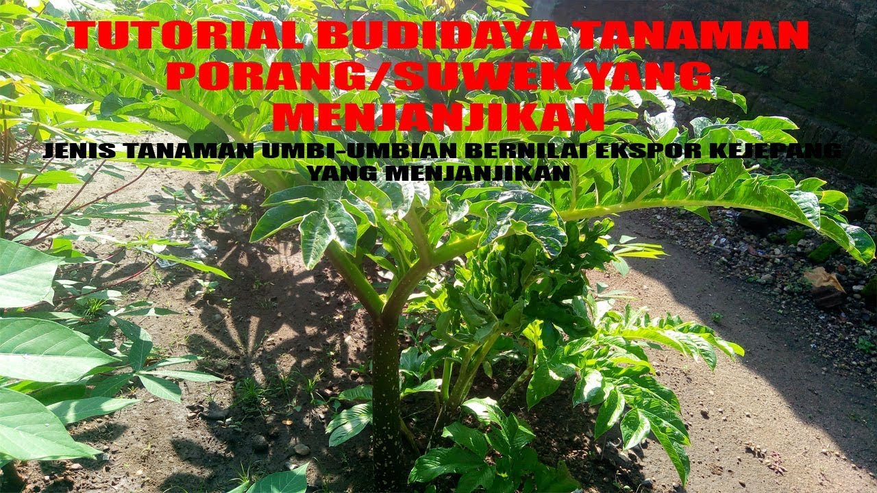 Budidaya Porang : Manfaat, Nilai ekspor, Budidaya