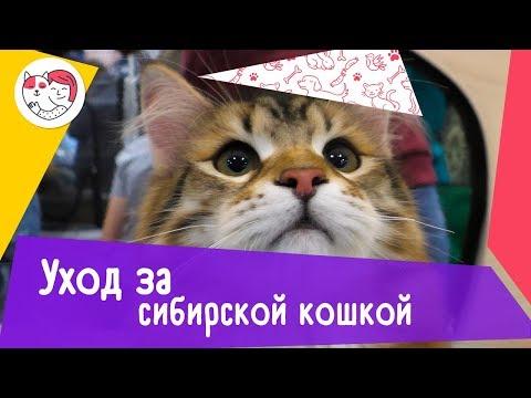 5 особенностей ухода за сибирской кошкой