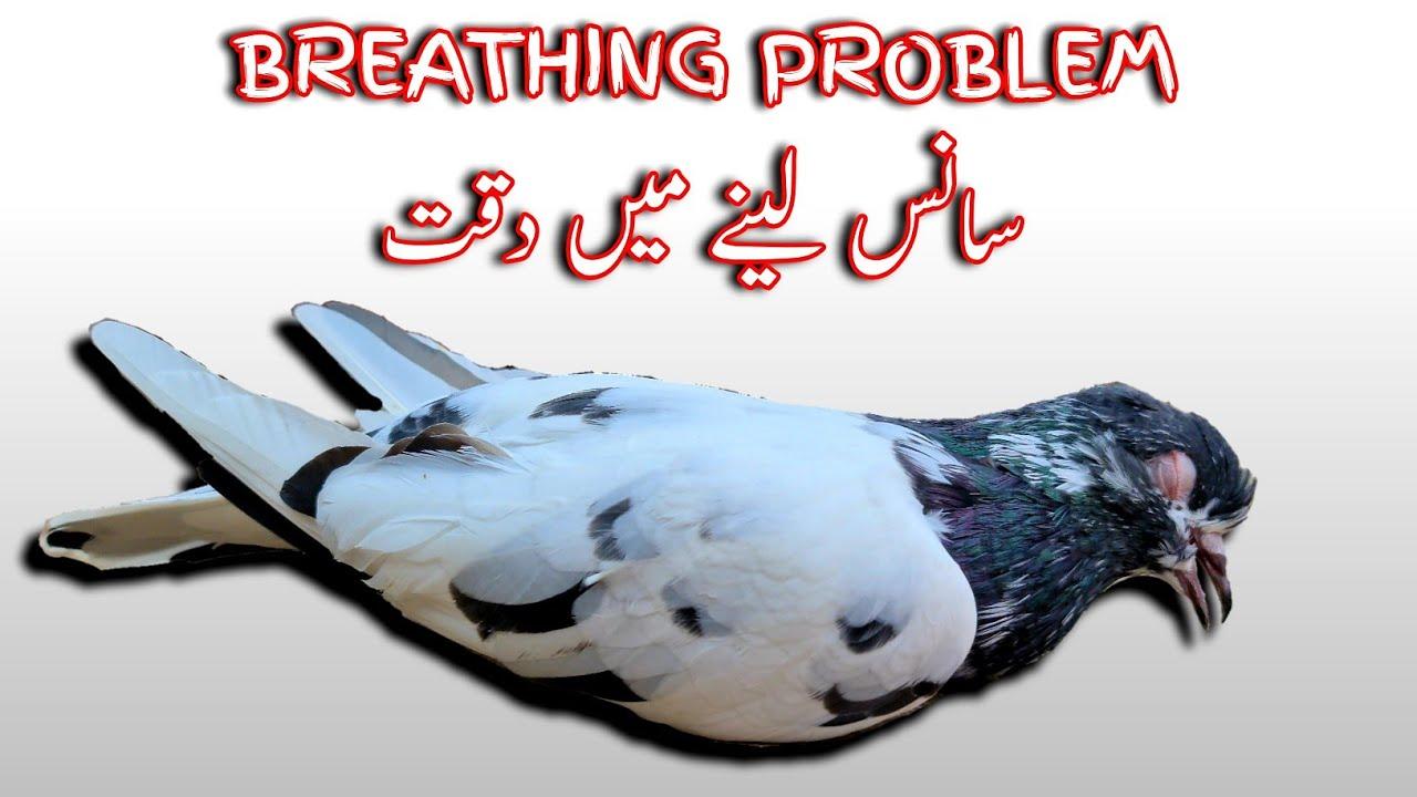 Pigeon Breathing Problem | Kabootar Ke Saans Ka ilaj