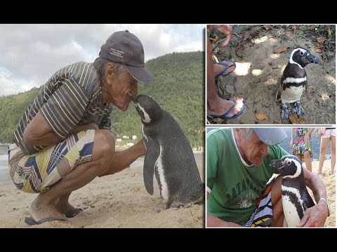 Dindim the Penguin swims 5,000 MILES every year to visit Brazilian man who Saved him