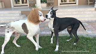 Funny Halloween Great Dane Plays with Lion Dane Brother