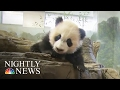 'Bei Bei' Helping Scientists Learn More About Beloved Pandas | NBC Nightly News