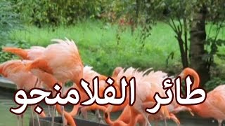 الحيوانات - طائر الفلامنجو