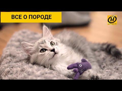 Сибирская кошка: все о породе, характер, уход