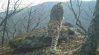 ID3864/НП Земля леопарда/Леопард фотомодель